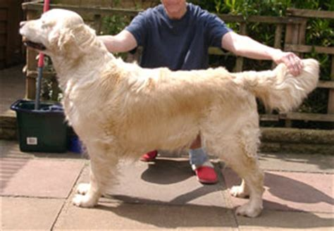 stormerick golden retrievers golden retriever stormerick solomon s seal