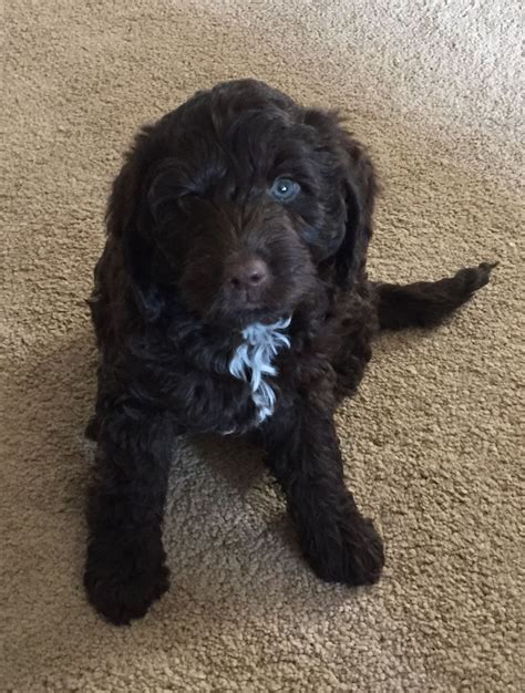 chocolate mini labradoodle puppies for sale mini chocolate labradoodle puppies for sale miniature chocolate labradoodle boy for