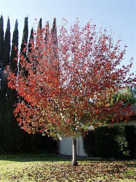 ornamental pear tree pyrus calleryana bradford pear tree blerick trees buy online trees