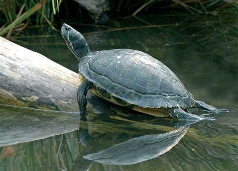 tartaruga d acqua alimentazione tartarughe d acqua dolce guida alle specie habitat