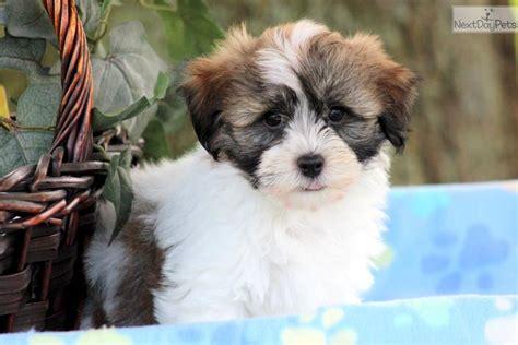 havanese puppy price havanese puppy for sale near lancaster pennsylvania