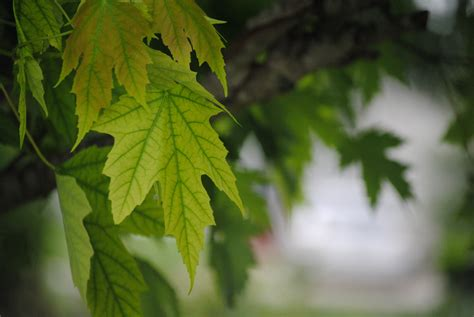 maple tree environment free images nature forest branch growth white sunlight texture leaf flower summer