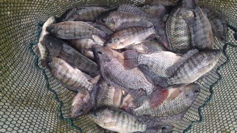 Bibit Ikan Nila Harganya prospek pasar ikan nila yang menjanjikan