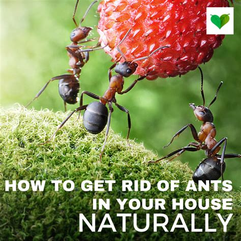 get rid of ants in house how to get rid of ants in the house naturally and easy