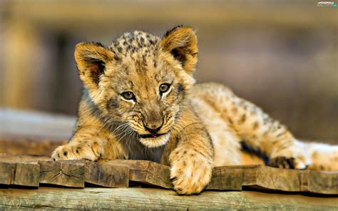 sweet lion animals wallpapers