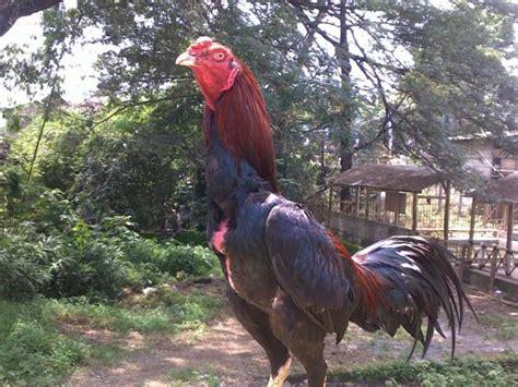 Jual Anakan Ayam Bangkok Di Jogja ayam aduan jogja jual ayam aduan harga murah