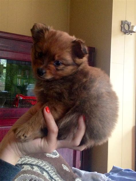 buy yorkie pomeranian mix chihuahua pomeranian yorkie mix puppy adorable animal and pomeranians