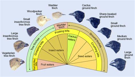 adaptive radiation diagram evolution library adaptive radiation darwin s finches
