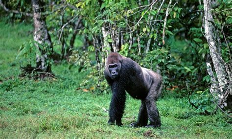 Western Lowland Gorilla | Species | WWF