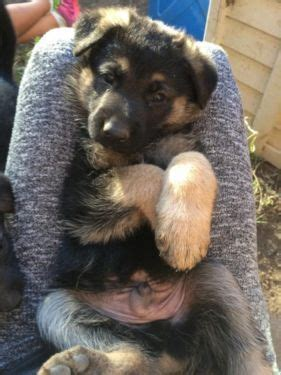 german shepherd puppies for sale in northern california 1000 ideas about local puppies for sale on dogs for sale yorkie puppies