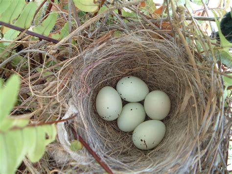 house finch eggs color 6 4 2 an angels dodgers double play blog april 2004