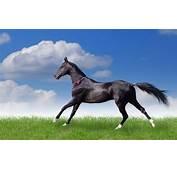 Black Horse Runs Full HD Wallpaper  Wallpapers Rocks