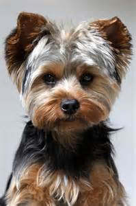 how to cut a yorkie s hair at home yorkie puppy cut what is a puppy cut yorkiemag