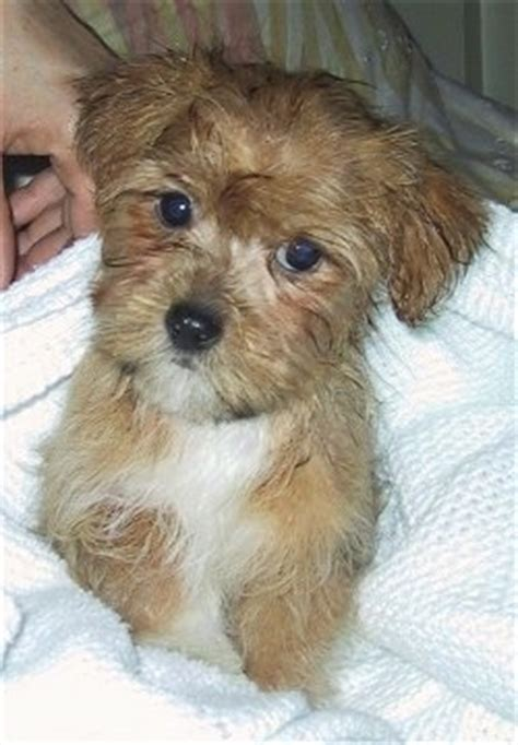 yorkie cross maltese yorkie maltese mix puppy buddy breeds picture