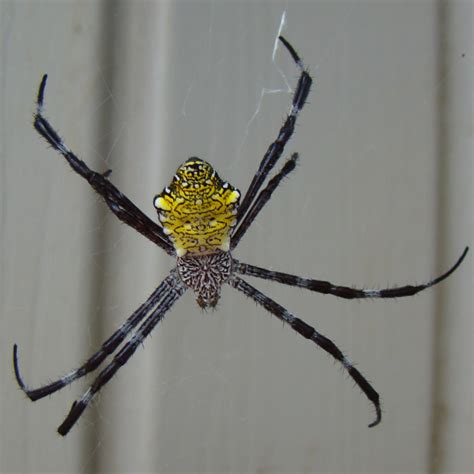 Garden Spider Or Bad How Bad Are The Spiders In Hawaii Yahoo Answers