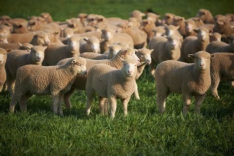 austrailian sheep australian butchers guild