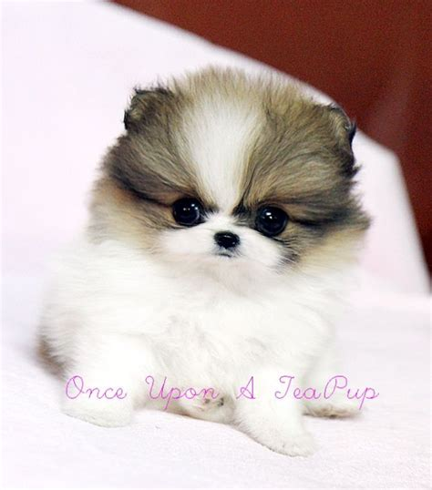 how to take care of a teacup pomeranian de 25 bedste id 233 er inden for teacup pomeranian p 229