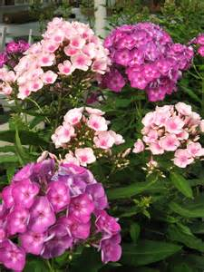 Tall Phlox Flowers - pictures of phlox flowers beautiful flowers