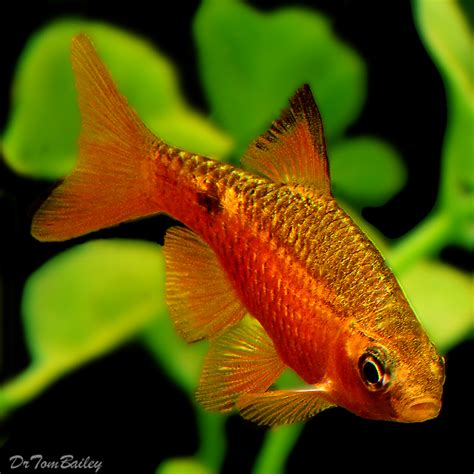 barb fish for sale aquariumfish net