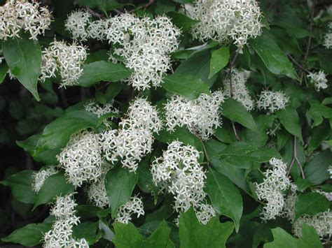 flowering dogwood shrub gray dogwood cornus racemosa lam 02 flowering trees