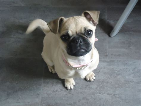 pug x for sale pug x chihuahua for sale filey pets4homes
