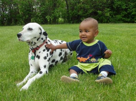 are dalmations dogs are dalmatian dogs with pets world