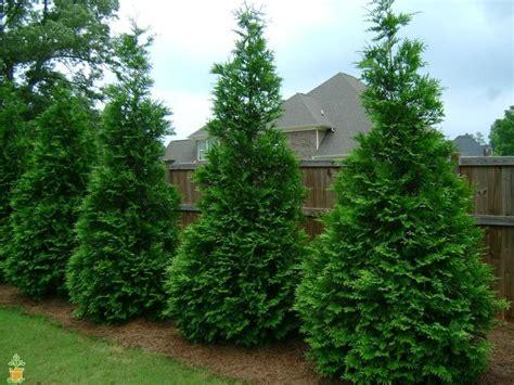 fast growing maple trees thuja gardens thuja green giant tree green giant arborvitae thuja