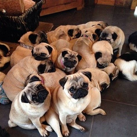 of pugs called mypugobsession fact a of pugs is bekah1218 pug and