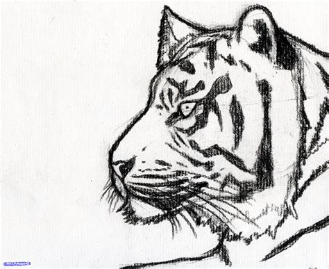 tiger easy easy tiger drawing www pixshark images