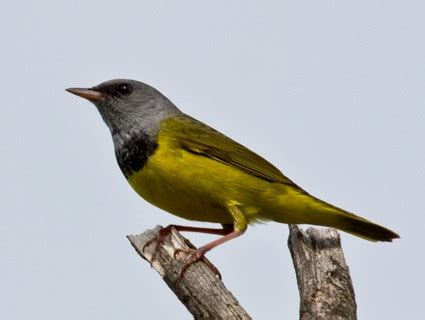 mourning warbler identification all about birds