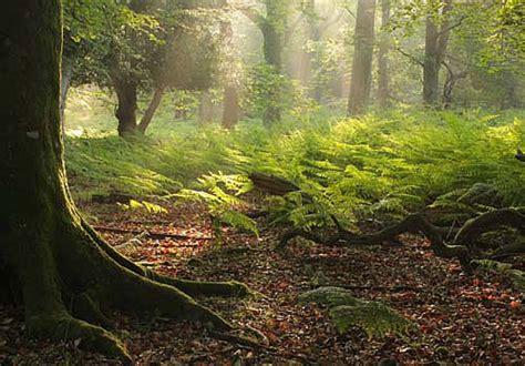 forest images image summer dawn  matley wood