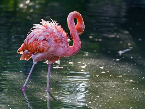 pink flamingos pink flamingo in dark waters a pink flamingo walking in