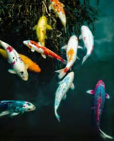 fish colors koi fish all different colors but still always koi fish