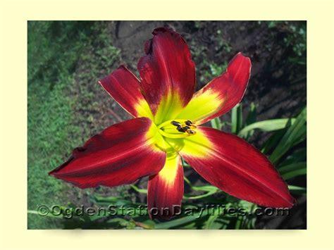 Heavenly Gardens Daylilies by Ogdenstationdaylilies Daylily Images D