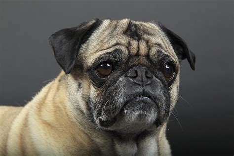 wrinkly pug wrinkles worried pug photograph by mlorenzphotography