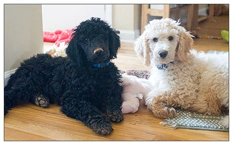 how much do puppies sleep at 6 months my adorable 3 month standard poodle puppies