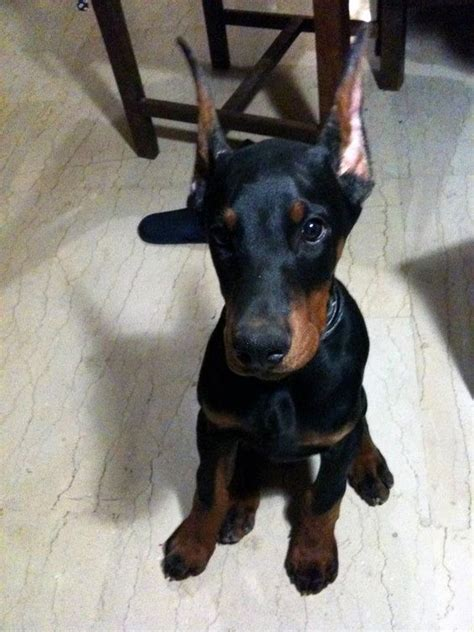 how much are doberman puppies i want a doberman so bad and this pup makes it so much worse doberman
