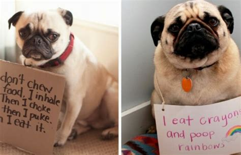 how pugs are made picture 15 pug shaming pictures of pugs who did the crime and now doing the time