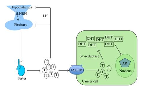 bcas2 promotes prostate cancer cells proliferation by tumor specific expression of organic anion transporting