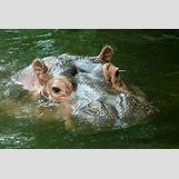 Hippopotamus Face In Water   480 x 321 jpeg 44kB