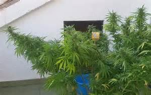 outdoor le autoproduction de cannabis en ext 233 rieur du growshop