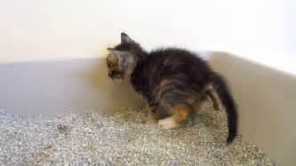 Kitten Has Stools by Ewww Tiny Tortie Foster Kitten A In