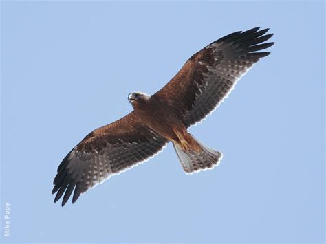 booted eagle kuwaitbirds org