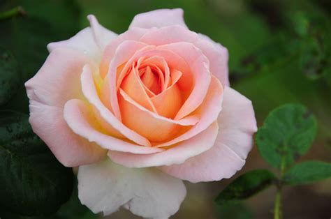 tea roses images reverse search