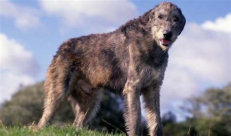 Wolfhound Shed by Wolfhound Breed Information