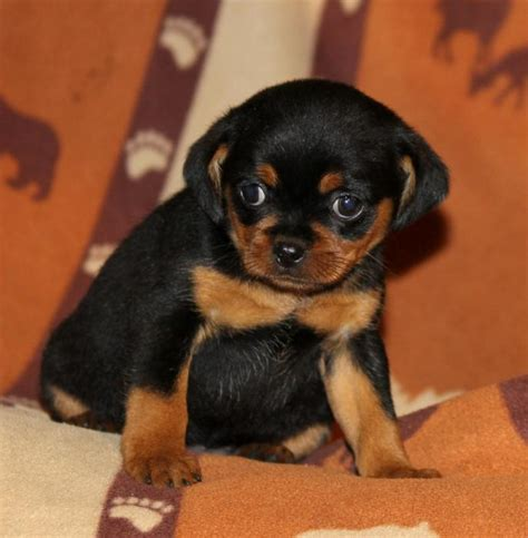 rottweiler puppies for sale in minnesota sweet mini rottweiler puppies craigspets