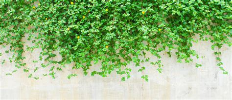 vine wallpaper for walls vines wallpapers earth hq vines pictures 4k wallpapers