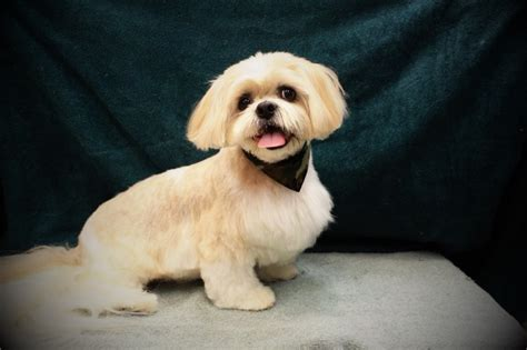 shih tzu show grooming wags to riches quality pet grooming