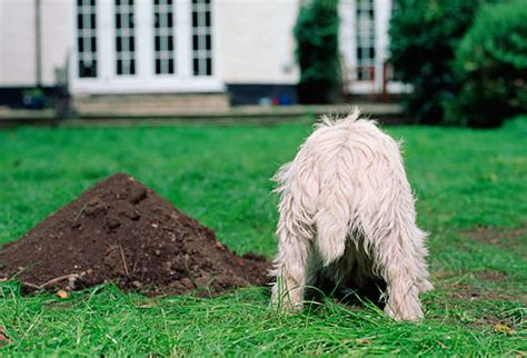 why do dogs dig holes in the backyard friend my dog how to stop your dog digging problem