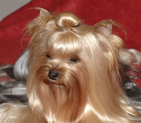 yorkie top knot yorkie top knot groomers bbs yorkies with topknots what lol i